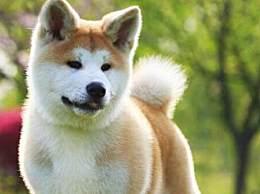 秋田犬多少钱一只 秋田犬最新价格行情