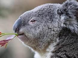 澳洲大火考拉死亡 350只考拉死亡死状太凄惨