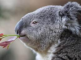 澳洲大火考拉死亡 或有超过350只考拉死亡