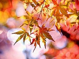 描写秋天的枫叶作文怎么写