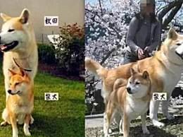 柴犬和秋田犬怎么分辨 柴犬秋田犬的区别有哪些