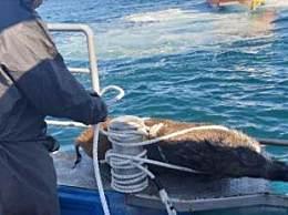 韩国50公斤野猪游泳 野猪竟然会游泳