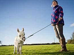 世界最小毛驴 还没一只狗大