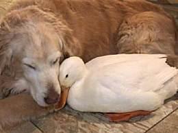 奇闻!鸭子爱上单亲狗妈妈 孤鵝寡狗一见情深
