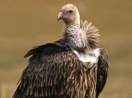 秃鹫的头为什么是秃的?秃鹫的头为什么是秃的小知识