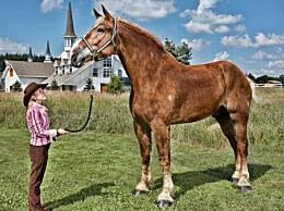 世界上最高的马 身高超2.1米