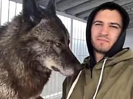 世界上最大的狼 战斗民族把它当哈士奇养
