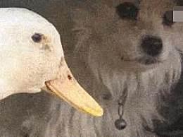 """鸭子爱上单亲狗妈妈 不离不弃被赞""""绝世好鸭"""""""