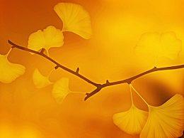 秋天的银杏叶怎么描写?银杏叶很美的句子说说大全
