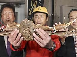 日本螃蟹拍出500万日元高价 破吉尼斯世界纪录