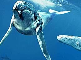 世界上最大的鲸鱼 体重超200吨
