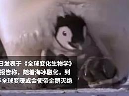 2100年帝企鹅或将灭绝 海冰融化全球变暖帝企鹅会灭绝吗?