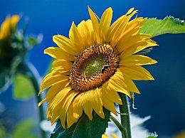 人工向日葵材料问世 人工向日葵材料是什么详细介绍