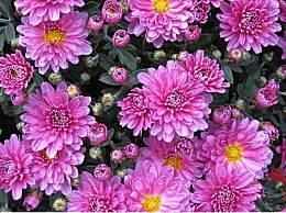 武汉菊花展什么时候开始?11月去武汉赏菊花好吗?