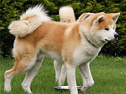 秋田犬多少钱一只 秋田犬价格行情一览表