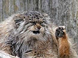 世界上最凶猛的猫 堪称猫界的王者