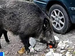 意大利野猪泛滥 野猪毁坏农田袭击民众让农民苦不堪言