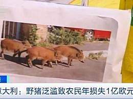 意大利野猪泛滥 致每年损失超7亿元