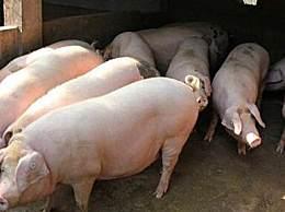 天津新政鼓励养猪 每头种猪补贴1000元