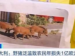 意大利野猪泛滥 袭击民众每年损失超7亿元
