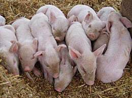 天津新政鼓励养猪 养猪成了热门行业