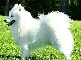银狐犬怎么剪毛 银狐犬剪毛注意事项汇总