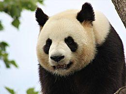 全球圈养大熊猫达600只 圈养大熊猫种群数量再创新高