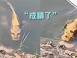 景区内现人面锦鲤 这模样简直要成精了