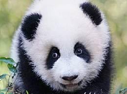 全球圈养大熊猫达600只 数量净增52只
