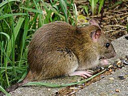什么是鼠疫?鼠疫的病因有哪些如何切段鼠疫传播途径