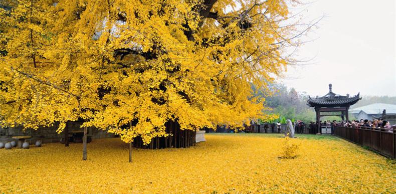 西安千年银杏树美爆了!银杏树怎么预约观赏