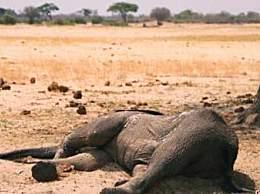 大象死于致命干旱 目前至少有120头大象死亡