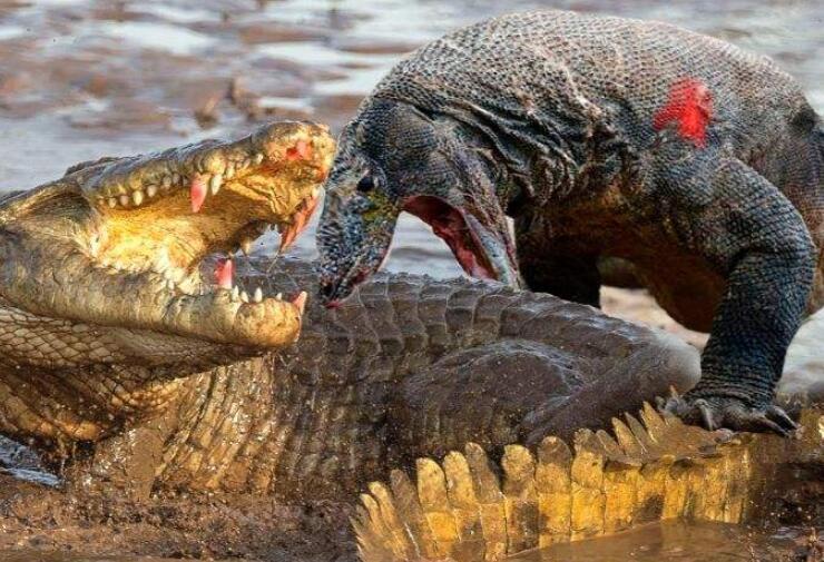 世界上最大的蜥蜴 连鳄鱼都敢猎食