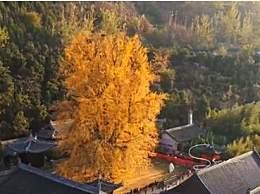 西安千年银杏古树在哪儿?赏银杏几月去最好?