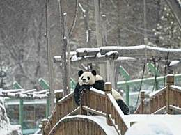 大熊猫瘫坐享受雪景 实名羡慕黑龙江的大熊猫