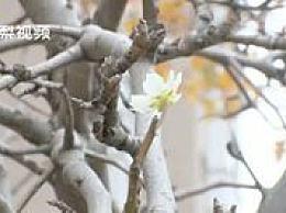 梨花也被天气搞晕了 花期3月却在11月开放