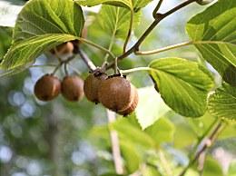 女人吃猕猴桃能美白吗?长期吃猕猴桃的好处及禁忌人群
