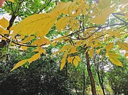 西安赏银杏别再去古观音禅寺 其实这些地方银杏叶也很美!