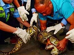 天花板掉下大蟒蛇 40斤大蟒蛇藏身天花板10年太吓人