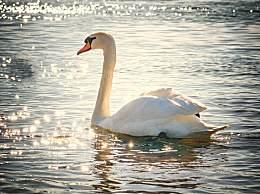 国内最美天鹅湖在哪儿?三大赏天鹅地方收下吧!