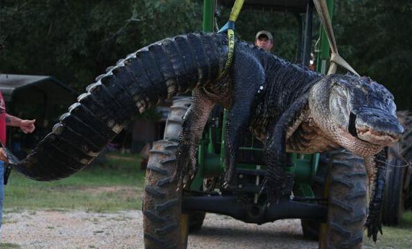 这家人吃了豹子胆,竟然敢捕捉千斤重鳄鱼,有望破世界记录!