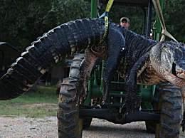 世界上最大的鱷魚 體重超900斤