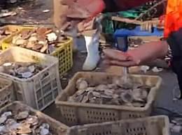 獐子岛扇贝打捞现场 5.5亩仅打捞26公斤活的