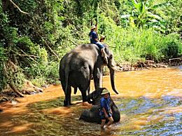 吴哥窟禁止骑大象 14头大象回归原有生活
