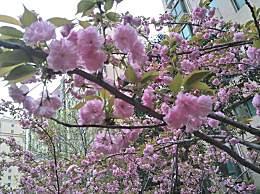 无量山樱花谷在哪儿?冬天赏樱花几月去最好?