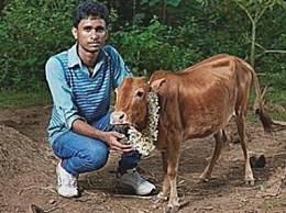 世界上最小的牛 只有一只狗大小