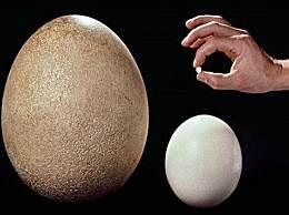 世界上最小的蛋 仅有米粒一样大小