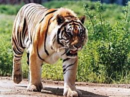 世界上最大的老虎 能把狮子撕成碎片