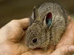 世界上最小的兔子 鹅蛋大小软萌可爱