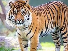 世界上最小的老虎 体重跟藏獒差不多
